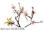 Купить «Цветущие ветки миндаля на белом фоне», фото № 33051604, снято 21 января 2020 г. (c) Tamara Kulikova / Фотобанк Лори
