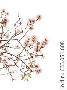 Купить «Цветущие ветки миндаля на белом фоне», фото № 33051608, снято 21 января 2020 г. (c) Tamara Kulikova / Фотобанк Лори