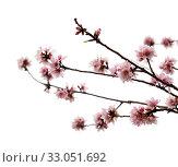 Купить «Цветущие ветки миндаля на белом фоне», фото № 33051692, снято 26 января 2020 г. (c) Tamara Kulikova / Фотобанк Лори