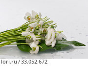 Bouquet of snowdrops on a white isolated background. Стоковое фото, фотограф Светлана Валуйская / Фотобанк Лори