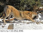 Купить «Eurasian Wolf (Canis lupus), male, yawns and stretches oneself», фото № 33052896, снято 8 февраля 2020 г. (c) Валерия Попова / Фотобанк Лори