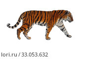 Siberian tiger (P. t. altaica), also known as Amur tiger, on white background. Стоковое фото, фотограф Валерия Попова / Фотобанк Лори
