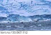 Купить «Humback Baleen Whales Chasing Krill Floating Blue Icebergs Snow Mountains Glaciers Charlotte Bay Antarctic Peninsula Antarctica.», фото № 33067112, снято 26 августа 2019 г. (c) easy Fotostock / Фотобанк Лори