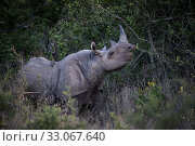 Black rhinoceros (Diceros bicornis) browsing, Lewa & Borana Conservancy... Стоковое фото, фотограф Will Burrard-Lucas / Nature Picture Library / Фотобанк Лори