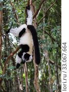 Купить «Black and white ruffed lemur (Varecia variegata) hanging from tree, Palmarium Reserve, Ankanin'Nofy, Madagascar.», фото № 33067664, снято 6 июля 2020 г. (c) Nature Picture Library / Фотобанк Лори