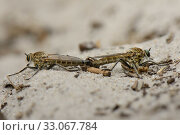 Купить «Dune Robberfly (Philonicus albiceps) pair mating on a sandy path, Studland Heath, Dorset, UK, July.», фото № 33067784, снято 2 июня 2020 г. (c) Nature Picture Library / Фотобанк Лори