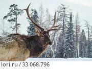 Купить «Maral male in a winter forest glade amid his herd», фото № 33068796, снято 8 февраля 2020 г. (c) Евгений Харитонов / Фотобанк Лори