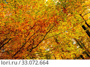 Купить «Trees with golden leaves in autumn and sunrays.Colorful autumn background.», фото № 33072664, снято 9 апреля 2020 г. (c) easy Fotostock / Фотобанк Лори