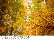 Купить «Trees with golden leaves in autumn and sunrays.Colorful autumn background.», фото № 33073504, снято 9 апреля 2020 г. (c) easy Fotostock / Фотобанк Лори