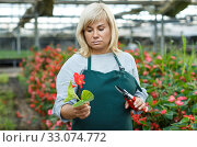 Female florist in apron with scissors working with red begonia in hothouse. Стоковое фото, фотограф Яков Филимонов / Фотобанк Лори