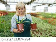 Купить «Mature female gardener working with plant of cinta in pots in greenhouse», фото № 33074784, снято 20 августа 2018 г. (c) Яков Филимонов / Фотобанк Лори