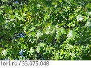 Зеленые листья дуба остролистного (лат. Quercus rubra) на ветках. Стоковое фото, фотограф Елена Коромыслова / Фотобанк Лори
