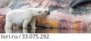 Купить «Polar bear (Ursus maritimus) feeding on a sperm whale carcass, Svalbard, Norway, July.», фото № 33075292, снято 22 февраля 2020 г. (c) Nature Picture Library / Фотобанк Лори
