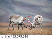 Купить «Svalbard reindeer (Rangifer tarandus platyrhynchus) fighting, Svalbard, Norway, September.», фото № 33075316, снято 23 февраля 2020 г. (c) Nature Picture Library / Фотобанк Лори