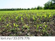 Купить «Выращивание кукурузы, молодые зеленые ростки», эксклюзивное фото № 33079776, снято 1 июня 2012 г. (c) Щеголева Ольга / Фотобанк Лори