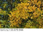 Купить «Ясень обыкновенный, или высокий (Fraxinus excelsior, European Ash) осенью», эксклюзивное фото № 33079944, снято 18 сентября 2014 г. (c) lana1501 / Фотобанк Лори
