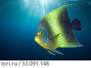 Купить «Semicircle Angelfish, Pomacanthus semicirculatus, Christmas Island, Australia», фото № 33091148, снято 27 февраля 2020 г. (c) age Fotostock / Фотобанк Лори