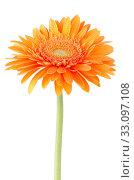 Купить «Orange gerbera daisy flower», фото № 33097108, снято 12 июля 2020 г. (c) PantherMedia / Фотобанк Лори