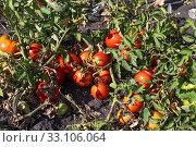 Купить «Organic Red ripe tomatoes in the garden», фото № 33106064, снято 25 августа 2018 г. (c) Володина Ольга / Фотобанк Лори