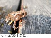kleine erdkröte. Стоковое фото, фотограф Joerg. Mikus / PantherMedia / Фотобанк Лори