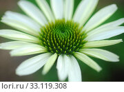 Купить «Echinacea purpurea white coneflower flower», фото № 33119308, снято 9 июля 2020 г. (c) PantherMedia / Фотобанк Лори