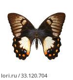 Купить «Orchard Swallowtail Butterfly», фото № 33120704, снято 24 февраля 2020 г. (c) PantherMedia / Фотобанк Лори