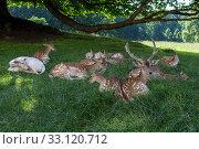 fallow deer. Стоковое фото, фотограф Heiko Eschrich / PantherMedia / Фотобанк Лори