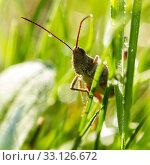 Купить «Closeup of a locust on a leaf», фото № 33126672, снято 31 марта 2020 г. (c) PantherMedia / Фотобанк Лори