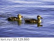 Купить «Ducklings», фото № 33129860, снято 27 мая 2020 г. (c) PantherMedia / Фотобанк Лори