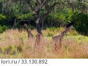 Купить «giraffe,pack,group,wilderness,desert,steppe,forest,field,mammal,neck,beautiful,africa,safari», фото № 33130892, снято 21 февраля 2020 г. (c) PantherMedia / Фотобанк Лори