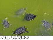 Купить «red-eared turtles», фото № 33131240, снято 31 мая 2020 г. (c) PantherMedia / Фотобанк Лори