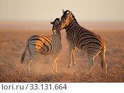 Купить «Fighting Zebras», фото № 33131664, снято 21 февраля 2020 г. (c) PantherMedia / Фотобанк Лори