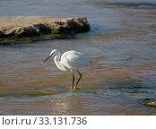 Small white Heron catches small fish in the water. Стоковое фото, фотограф Наталья Волкова / Фотобанк Лори