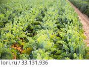 Field planted with young cabbage. Стоковое фото, фотограф Яков Филимонов / Фотобанк Лори