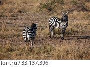 Купить «zebra in the wide of africa», фото № 33137396, снято 21 февраля 2020 г. (c) PantherMedia / Фотобанк Лори