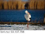 Stork in Winter. Стоковое фото, фотограф Péter Gudella / PantherMedia / Фотобанк Лори