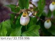 Купить «Орхидея Венерин башмачок (Cypripedium macranthon)», фото № 33159996, снято 24 мая 2019 г. (c) Ольга Сейфутдинова / Фотобанк Лори