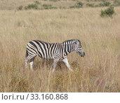 Купить «zebra in the savanna», фото № 33160868, снято 6 июля 2020 г. (c) PantherMedia / Фотобанк Лори