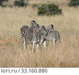 Купить «zebra in the savanna», фото № 33160880, снято 6 июля 2020 г. (c) PantherMedia / Фотобанк Лори