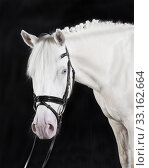Купить «german riding pony», фото № 33162664, снято 27 февраля 2020 г. (c) PantherMedia / Фотобанк Лори