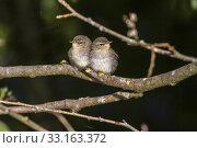 Купить «dorngras-mosquito (sylvia communis)», фото № 33163372, снято 31 мая 2020 г. (c) PantherMedia / Фотобанк Лори