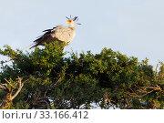 Купить «Secretary bird, Masai Mara,Secretary bird, Masai Mara,Secretary bird, Masai Mara,Secretary bird, Masai Mara», фото № 33166412, снято 13 июля 2020 г. (c) PantherMedia / Фотобанк Лори