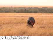 Купить «Hippopotamus, Masai Mara,Hippopotamus, Masai Mara,Hippopotamus, Masai Mara,Hippopotamus, Masai Mara», фото № 33166648, снято 29 мая 2020 г. (c) PantherMedia / Фотобанк Лори