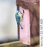 Купить «Blue Tit bird at the birdhouse», фото № 33167420, снято 26 февраля 2020 г. (c) PantherMedia / Фотобанк Лори