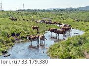 Купить «Стадо коров спасается от жары в небольшой речке на окраине деревни», фото № 33179380, снято 3 августа 2019 г. (c) Светлана Попова / Фотобанк Лори