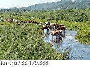 Купить «Коровы спасаются от жары в небольшой речке на окраине деревни», фото № 33179388, снято 3 августа 2019 г. (c) Светлана Попова / Фотобанк Лори