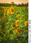 Купить «Sunflowers on a green field», фото № 33181808, снято 31 мая 2020 г. (c) PantherMedia / Фотобанк Лори