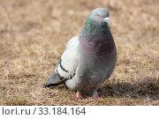 Купить «Portrait of a gray dove», фото № 33184164, снято 2 апреля 2008 г. (c) Argument / Фотобанк Лори