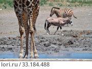 Купить «Oryx», фото № 33184488, снято 20 февраля 2020 г. (c) PantherMedia / Фотобанк Лори
