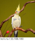 cockatiel parrot. Стоковое фото, фотограф kiril matanov / PantherMedia / Фотобанк Лори